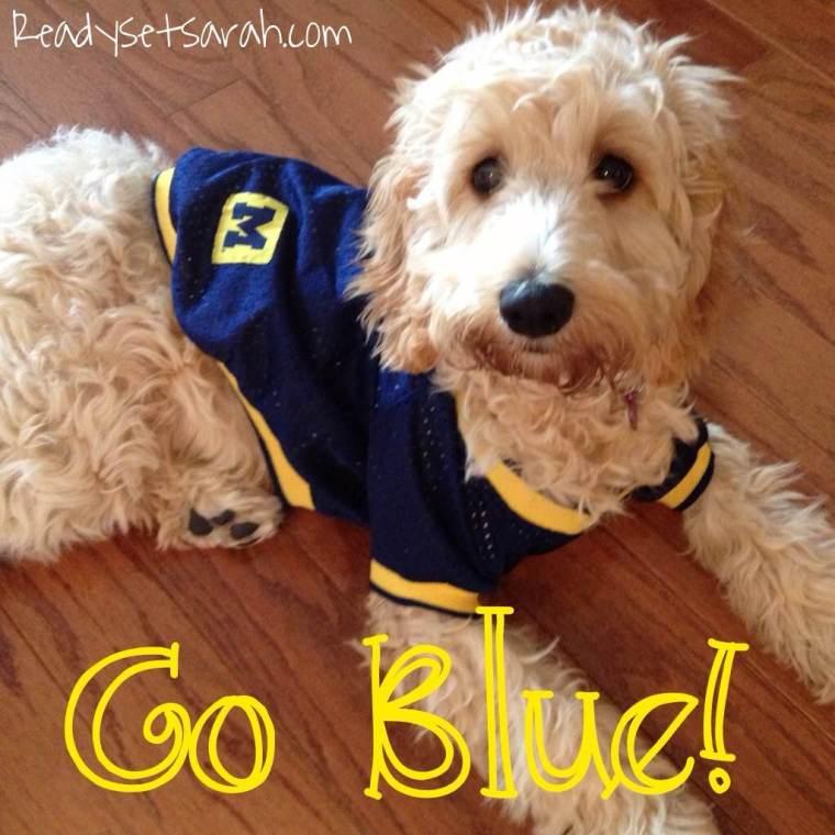 Cockapoo Brinkley Says GO BLUE! (image by Ready Set Sarah)