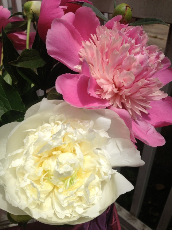 Gorgeous, gigantic home grown peonies.