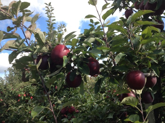 Apple picking at Spicer's Orchard, Fall 2014